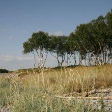 Соловецкие острова — край танцующих берёз, можжевельника и ягод