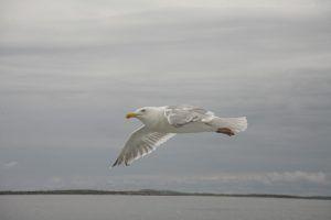 Чайки Белого моря