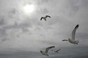 Беломорские чайки