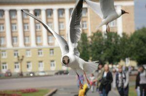 Городские чайки