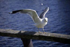 Чайка на Святом озере
