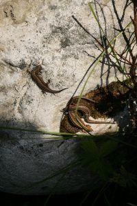 Ящерки на камушке