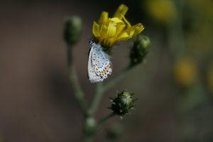 Бабочки вполне комфортно себя чувствуют в суровом Соловецком климате