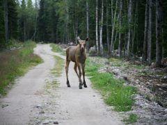 Животный мир Соловецкого архипелага — Фотосессия для семьи лосей