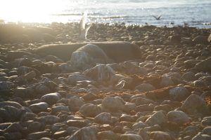 Гнездовье полярной крачки