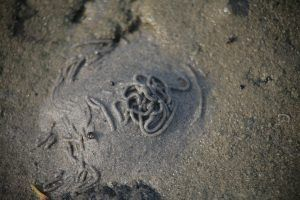 Морской пескожил